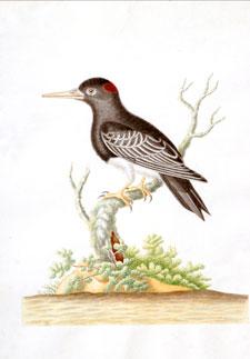 Blackbird With Spot