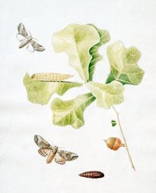 Oak Leaves Acorn Moths and Pupae